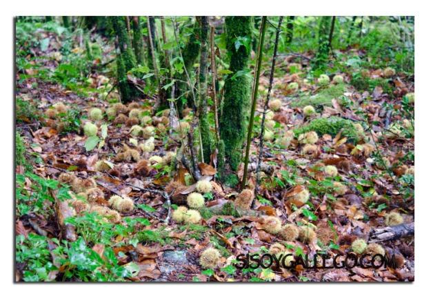 Bosque plagado de erizos de castaña