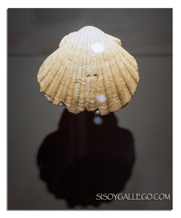 Concha de vieira natural de antes del año 1120.