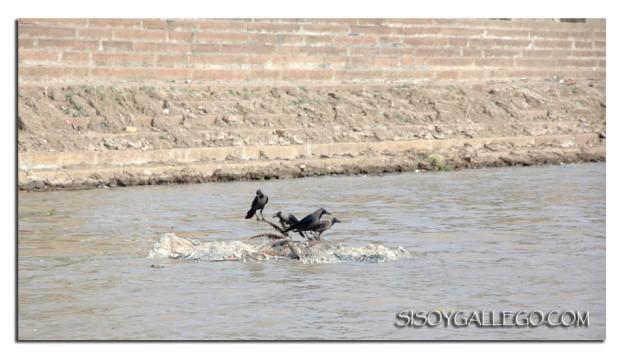 _Ganges.Cuervos y su presa