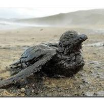 Prestige fauna afectada.2.