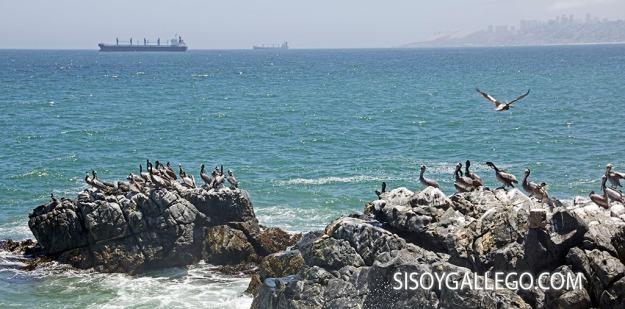 4.Viña del Mar. Pelicanos.