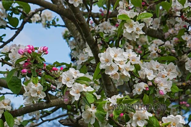20.Manzano en flor.